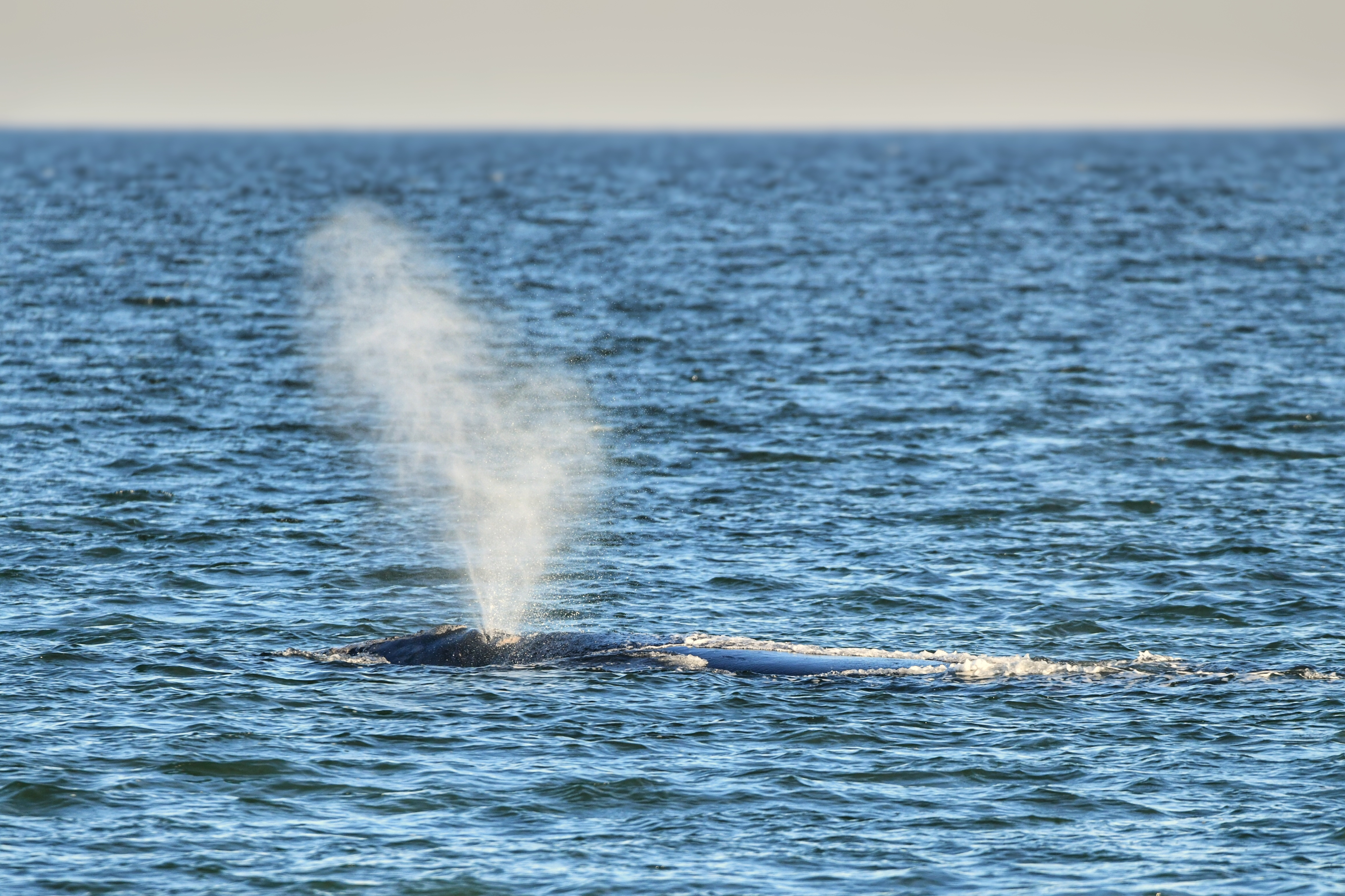 Right whales have arrived off of Amelia Island. More than 30 right whales have been spotted this fall and winter.