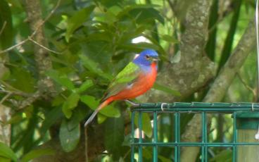 A photo of a male painted bunting.