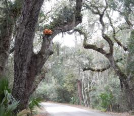 "A sulfur shelf mushroom – sometimes called ""chicken of the woods"" – has appeared up high in an oak tree at Fort Clinch State Park.  Pat Foster-Turley/For the News-Leader"