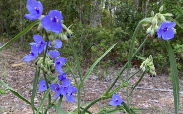 Spiderwort, plus lyre leaf sage, scarlet sage, gaillardia, thistle, oxalis, trumpet vines, and a host of other wildflowers are blooming now for your enjoyment. PAT FOSTER-TURLEY/NEWS-LEADER