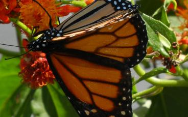 I just started noticing monarch caterpillars in my own yard about three weeks ago, after watching monarch butterflies flitting around my yard. PAT FOSTER-TURLEY/FOR THE NEWS-LEADER