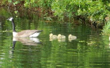 """Mother Goose"" and her new goose family on a first paddle around the retention pond. PAT FOSTER-TURLEY/FOR THE NEWS-LEADER"