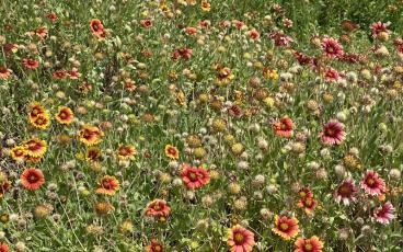 Orange gaillardia joinS many more native flowers blooming in the dunes right now. PAT FOSTER-TURLEY/FOR THE NEWS-LEADER