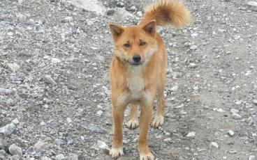 The very rare New Guinea highland wild dogs inhabit the remote areas of high mountains above the tree line on the island of New Guinea. NEW GUINEA HIGHLAND DOG FOUNDATION