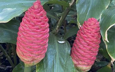 Pinecone gingers also called shampoo flowers, are an old fall favorite. PAT FOSTER-TURLEY/FOR THE NEWS-LEADER