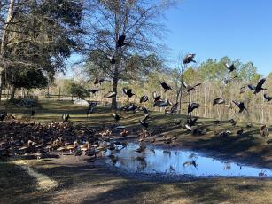 Clockwise, a large flock of black-bellied whistling ducks has settled around a Callahan retention pond in the Dalton family's backyard.