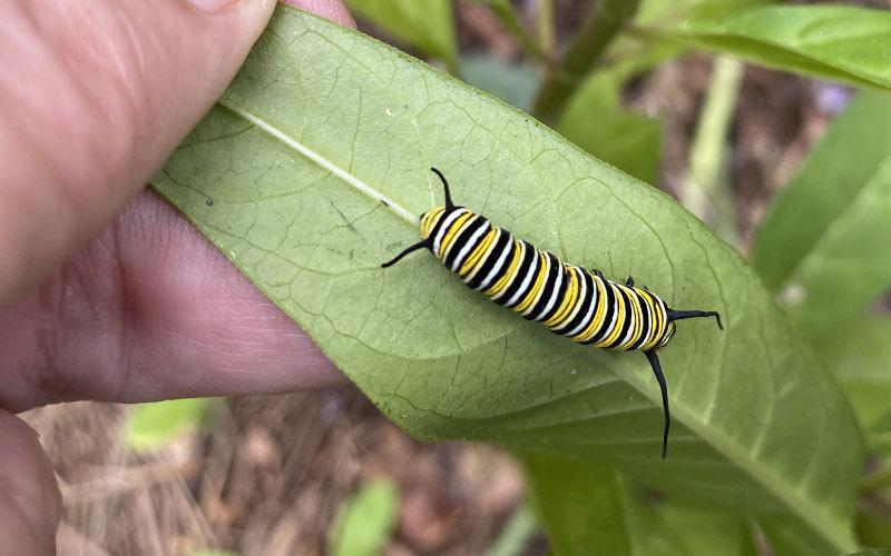 Monarch butterfly caterpillars are feasting on our reseeded milkweed plants. PAT FOSTER-TURLEY/FOR THE NEWS-LEADER