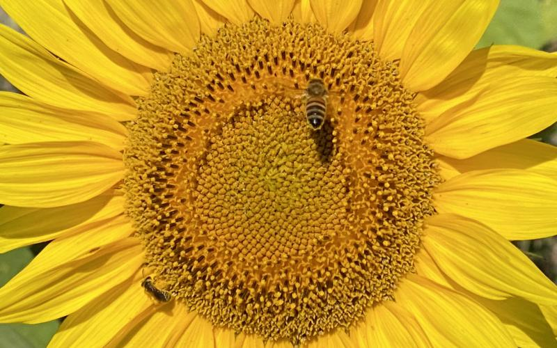 Conner's A-Maize-Ing-Acres Farm in Hilliard is hosting a sunflower event at their facility in Hilliard through at least May 17. You can roam the fields, cutting flowers and taking photos.  Pat Foster-Turley/For the News-Leader