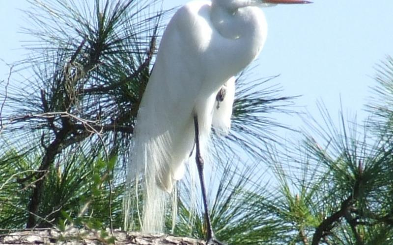 Great blue herons and great egrets can often be seen in our marshes and wetlands.